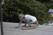 EUDF Pairs Capuchin pygmy marmoset available 07031956739
