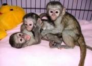 NSFDF Pairs Capuchin pygmy marmoset available 07031956739