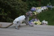 EURY Pairs Capuchin pygmy marmoset available 07031956739