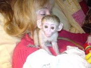 JDSW Pairs Capuchin pygmy marmoset available 07031956739